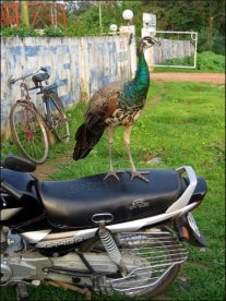 Peacock on motorbike (Khajuraho, Jul. 2008)