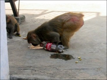 Monkey licking Coke off the floor (Varanasi, Mar.2009)