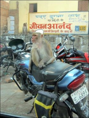 Only in India: Monkey on motorbike (Varanasi, Feb. 2014)