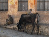 Monkey on cow (Jaipur, Rajasthan, Nov. 2014)