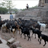 Herds of goats pass by everyday...
