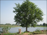The pipal tree & the lake, right in front of our house